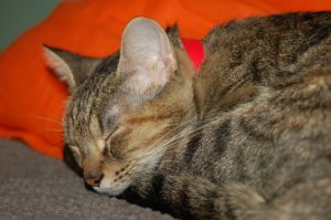 An adoptable cat in the middle of a nap. Photo by Joey Galvan